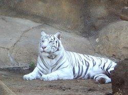 Новогодние приключения тигренка в зоопарке